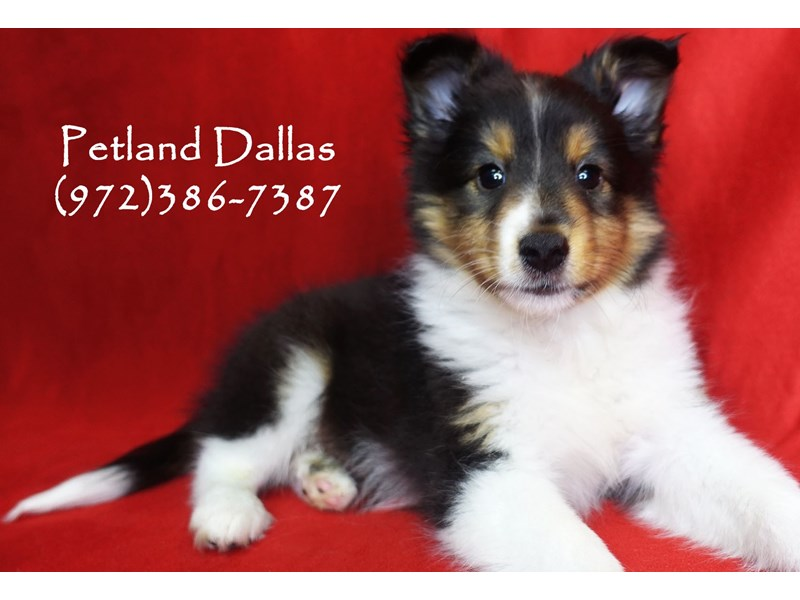 Shetland Sheepdog-Male-Black Tri-2743907-Petland Dallas, TX