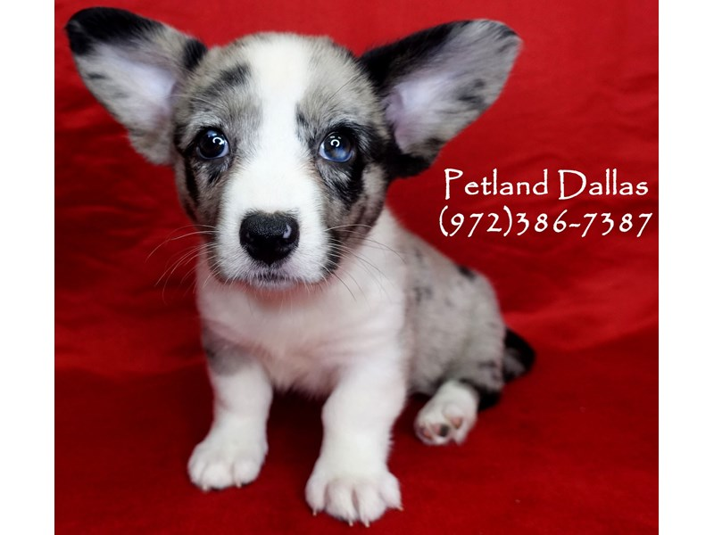 Cardigan Welsh Corgi-Female-Blue Merle-2750703-Petland Dallas, TX