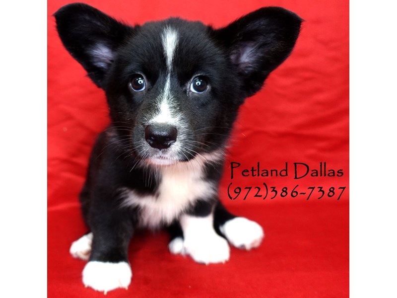 Cardigan Welsh Corgi-Female-Black and White-2750707-Petland Dallas, TX