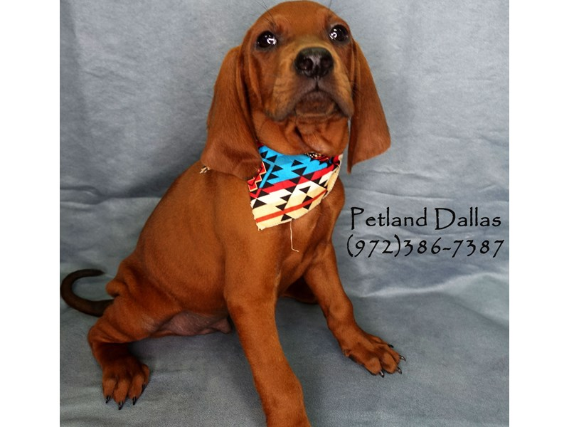 Redbone Coonhound-Male-Red-2750734-Petland Dallas, TX