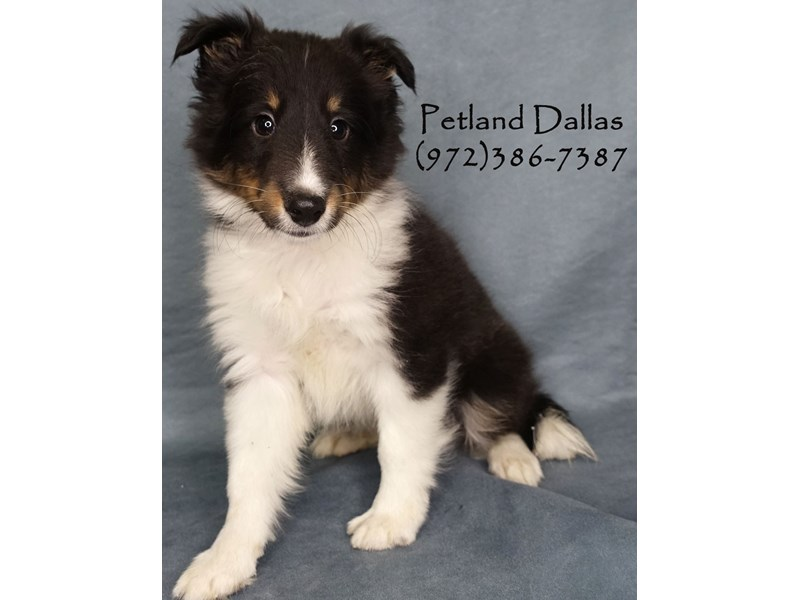 Shetland Sheepdog-Male-Black Tri-2750728-Petland Dallas, TX