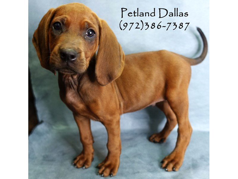Redbone Coonhound-Male-Red-2750731-Petland Dallas, TX