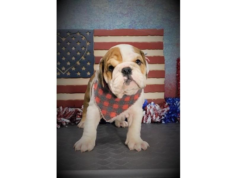 English Bulldog-Male-Red-2758026-Petland Dallas, TX