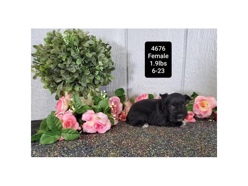 Miniature Schnauzer Dog Liver Id 2783702 Located At Petland Dallas Tx