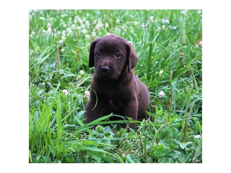Labrador Retriever-Female-Chocolate-2773309-Petland Dallas, TX