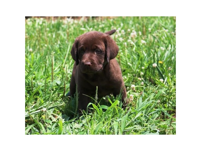 Labrador Retriever-Female-Chocolate-2773310-Petland Dallas, TX