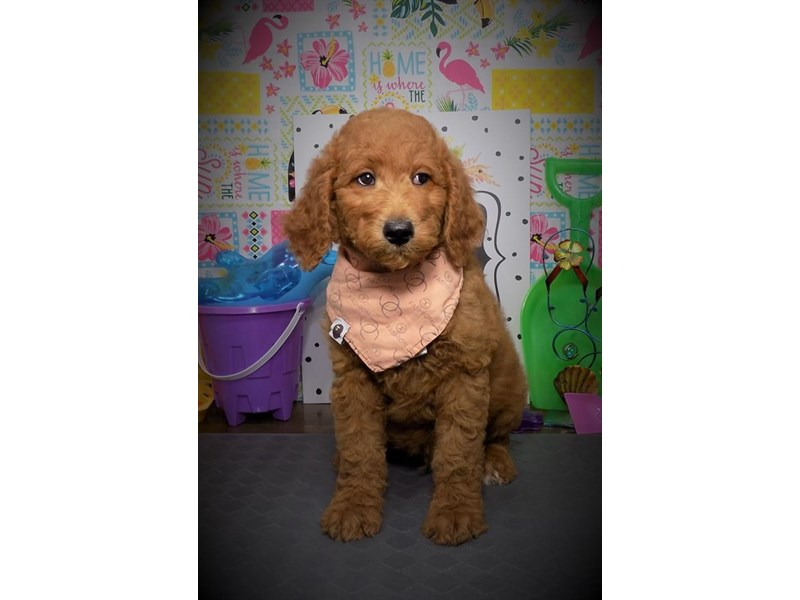 Goldendoodle-Male-Red-2779551-Petland Dallas, TX