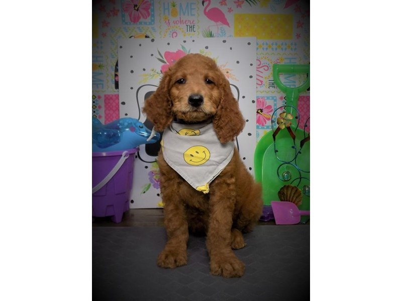 Goldendoodle-Male-Red-2779552-Petland Dallas, TX