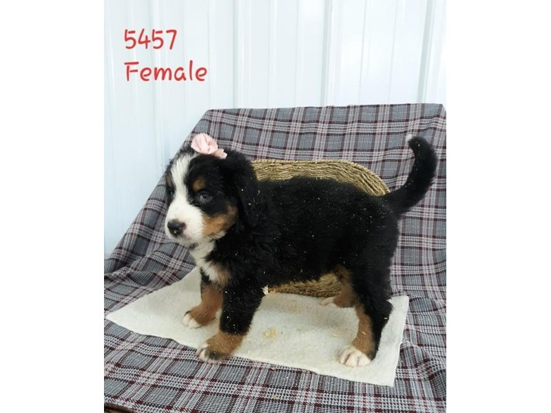 Bernese Mountain Dog-Female-Black Rust / White-2795962-Petland Dallas, TX