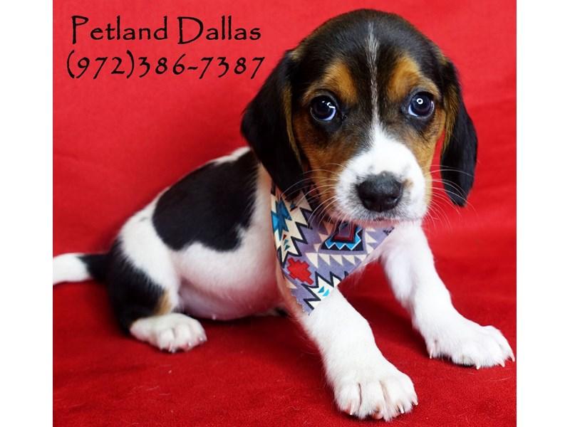 Beagle Dog Tri Id 2811248 Located At Petland Dallas Tx