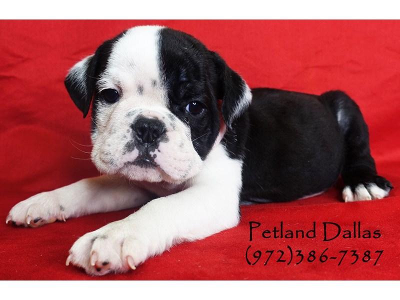 English Bulldog-Male-Black and White-2795906-Petland Dallas, TX