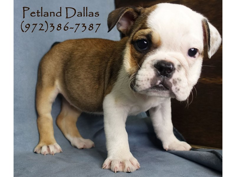 English Bulldog-Female-Red and White-2795925-Petland Dallas, TX