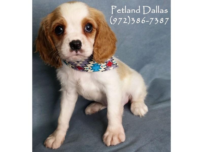 Cavalier King Charles Spaniel-Female-Blenheim-2797982-Petland Dallas, TX