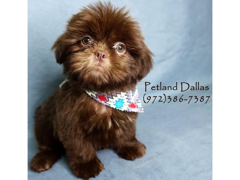 Miniature Dachshund Dog Male Blue And Tan Piebald 2621929 Petland Dallas Tx