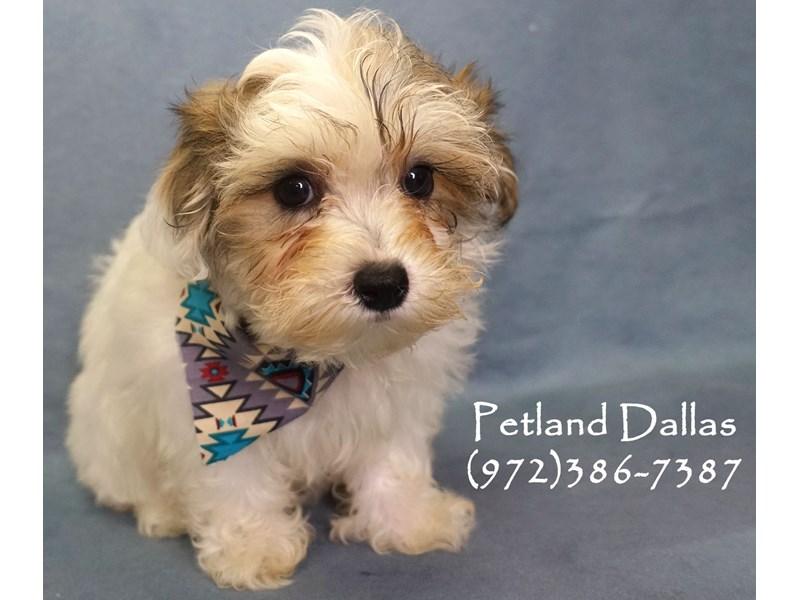 Maltipoo-Female-Sable and White-2803088-Petland Dallas, TX
