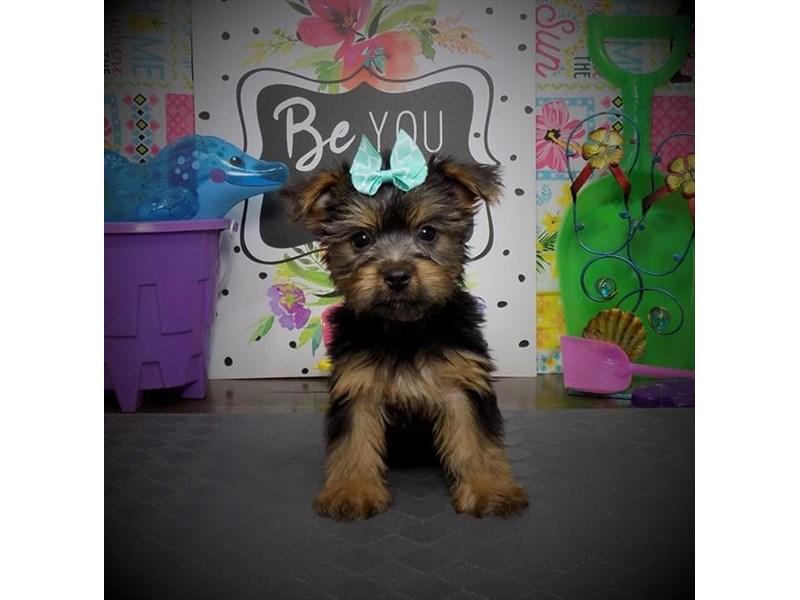 Silky Terrier-Female-Blue / Tan-2808968-Petland Dallas, TX