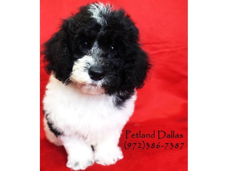 Miniature Poodle-Male-Black and White-2819152-Petland Dallas, TX