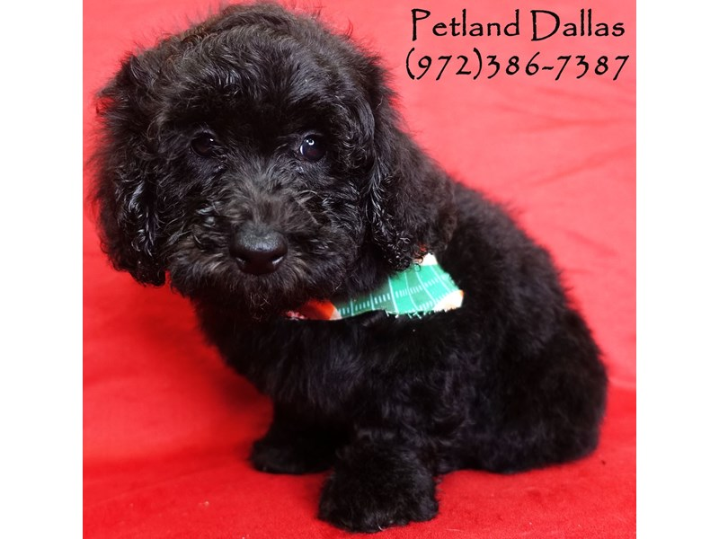 Miniature Poodle-Male-Black and White-2819153-Petland Dallas, TX