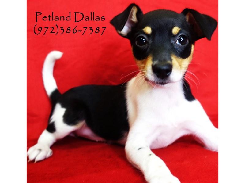 Rat Terrier-Female-Black and White-2818919-Petland Dallas, TX