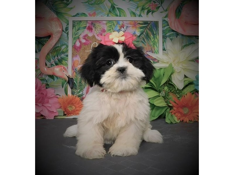 Shih Tzu-Female-White / Silver-2803220-Petland Dallas, TX