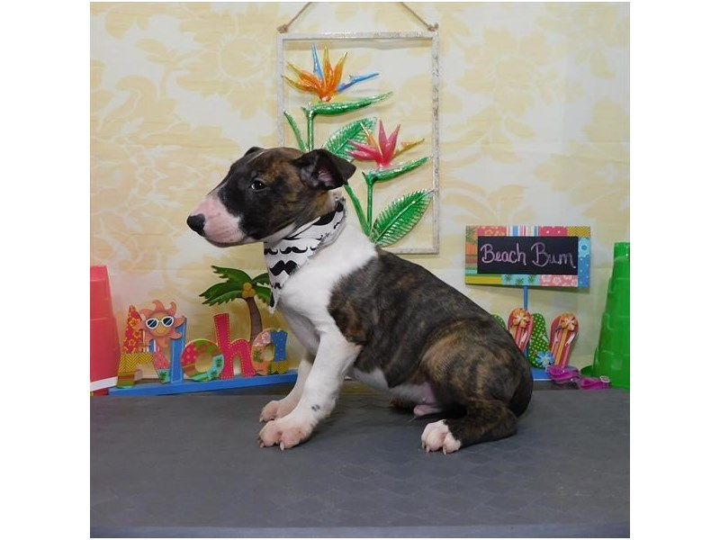 Bull Terrier-Male-Brindle-2803278-Petland Dallas, TX