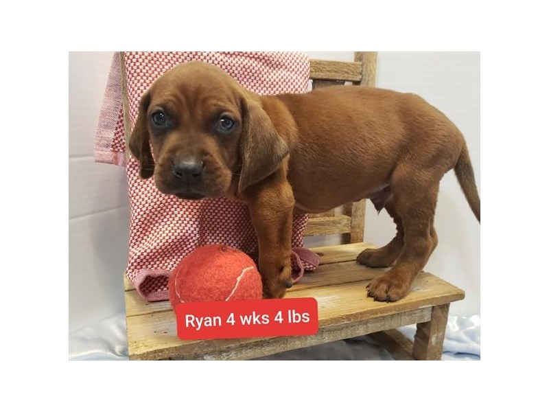 Redbone Coonhound-Male-Red-2810708-Petland Dallas, TX