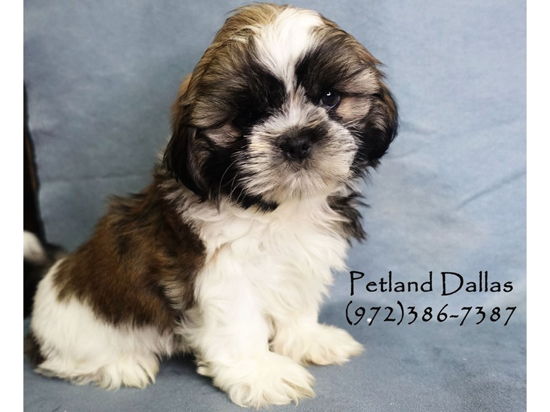 Shih Tzu-Male-Sable and White-2818875-Petland Dallas, TX