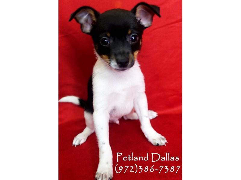 Rat Terrier--Black and White-2818905-Petland Dallas, TX