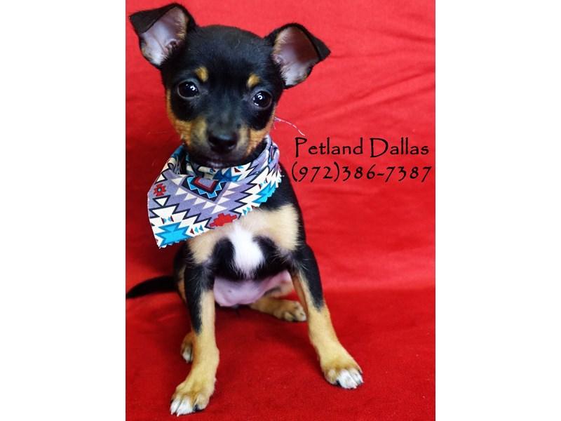Rat Terrier-Female-Black and Tan-2818917-Petland Dallas, TX