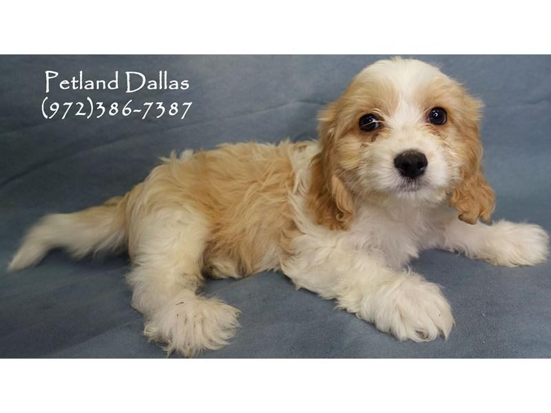 Cavachon-Male-Apricot and White-2818922-Petland Dallas, TX