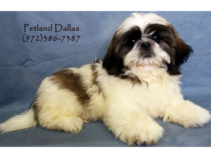Shih Tzu-Male-Sable and White-2818944-Petland Dallas, TX