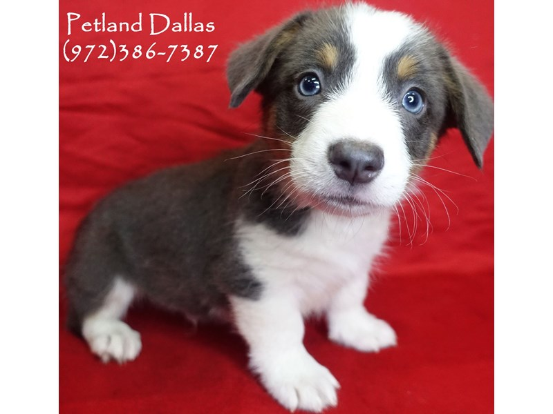 Pembroke Welsh Corgi-Male-Blue-2826770-Petland Dallas, TX
