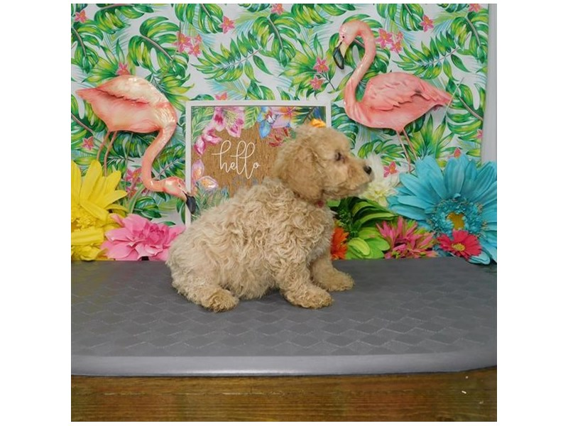 Poodle-Female-Apricot-2827625-Petland Dallas, TX