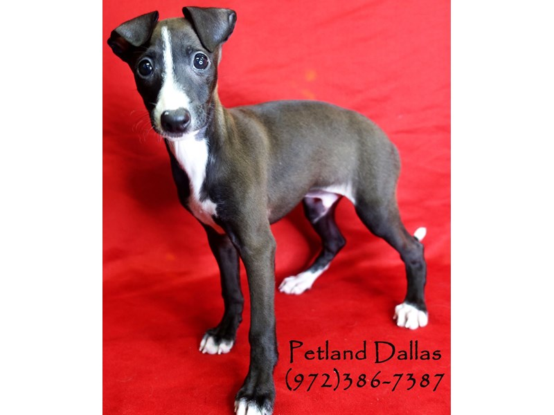 Italian Greyhound-Male-Seal & White-2828155-Petland Dallas, TX