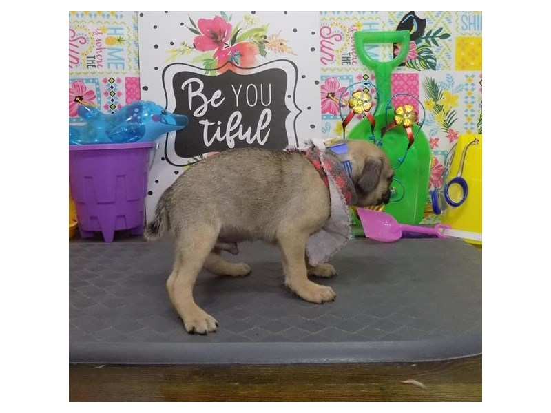 Pug-Male-Fawn-2832256-Petland Dallas, TX