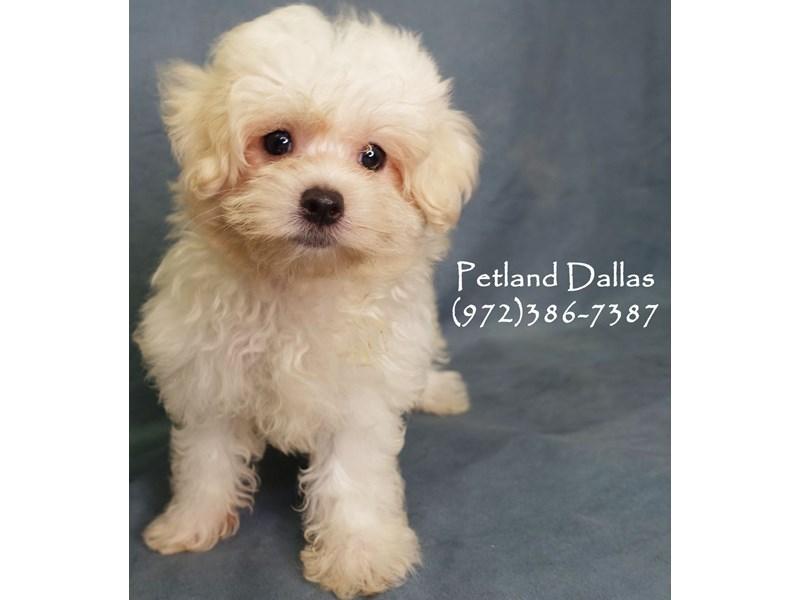Maltipoo-Female-White-2834783-Petland Dallas, TX