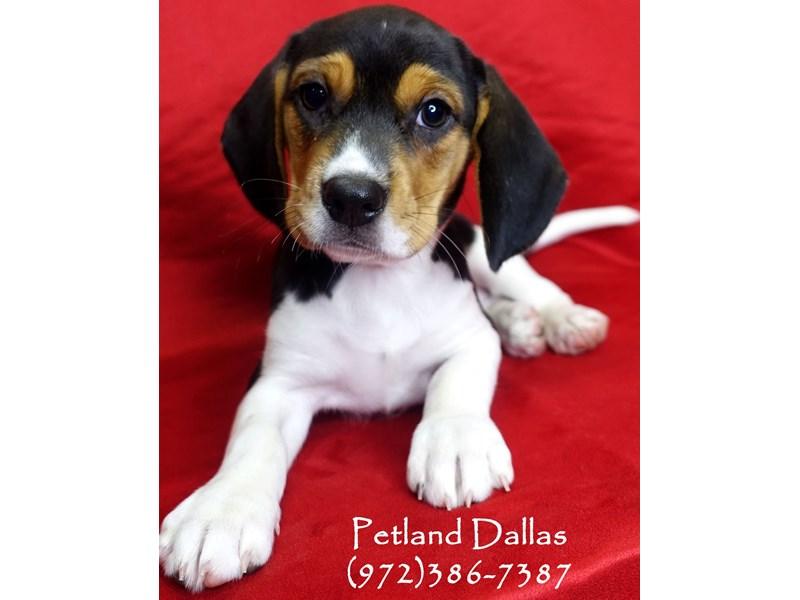 Beagle-Female-Tri-2841260-Petland Dallas, TX