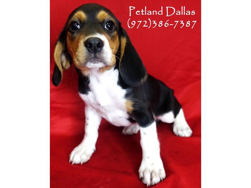 Beagle-Female-Tri-2841262-Petland Dallas, TX