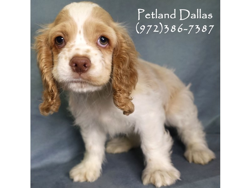 Cocker Spaniel-Male-White, Cream and Red-2841381-Petland Dallas, TX