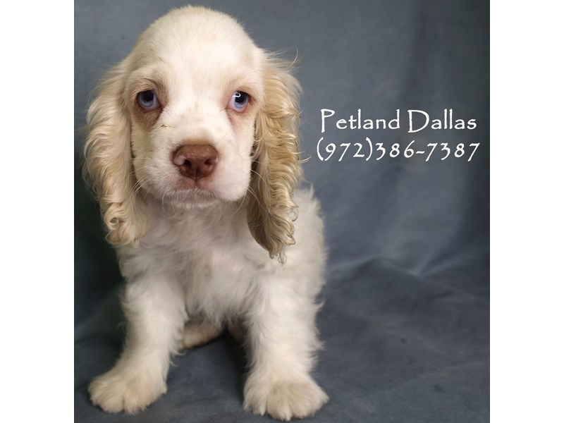 Cocker Spaniel-Male-White, Cream and Red-2841386-Petland Dallas, TX