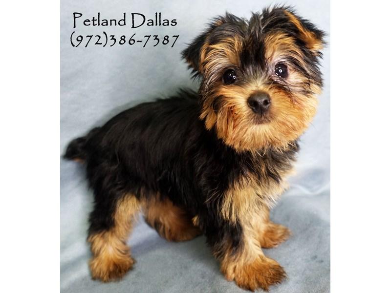 Yorkshire Terrier-Female-Black and Tan-2841303-Petland Dallas, TX