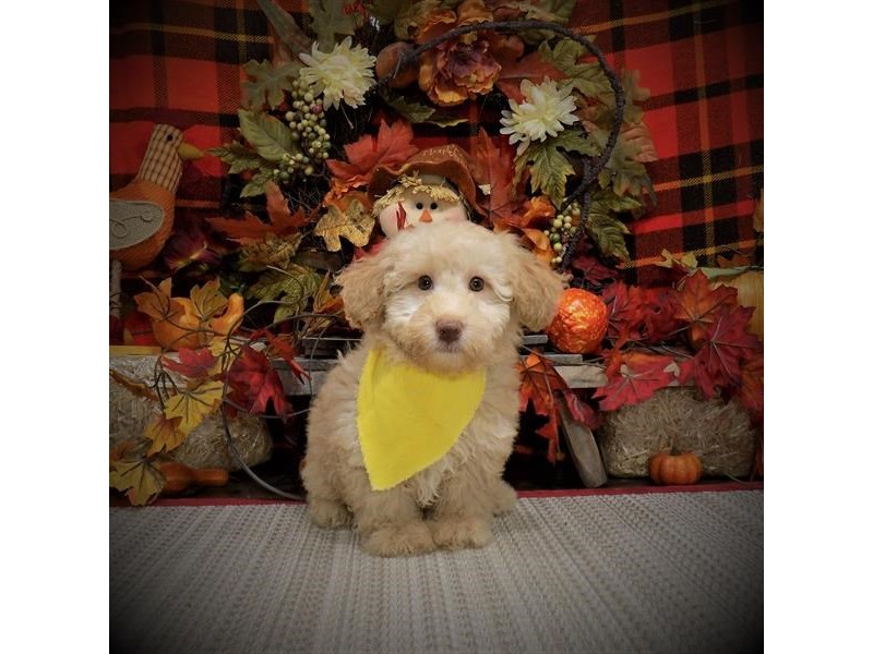 Poodle-Male-Apricot-2846827-Petland Dallas, TX