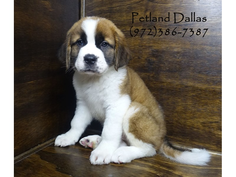 Saint Bernard-Male-Red and White-2848518-Petland Dallas, TX