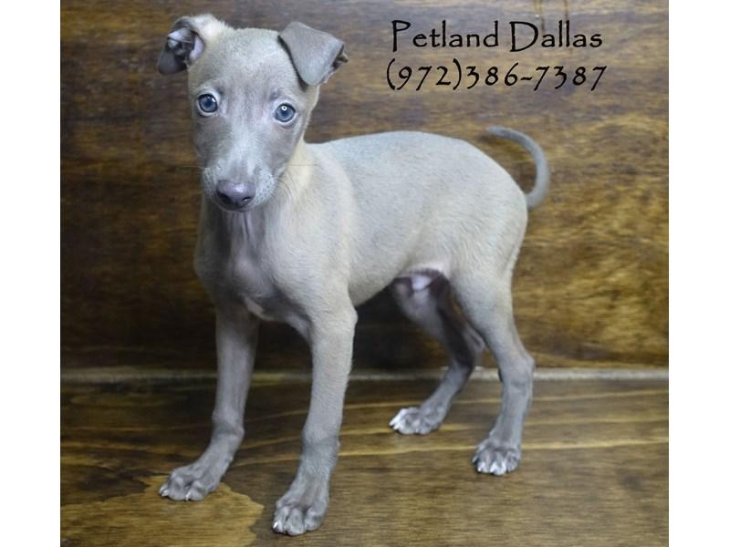Italian Greyhound-Male-Blue Fawn-2848452-Petland Dallas, TX
