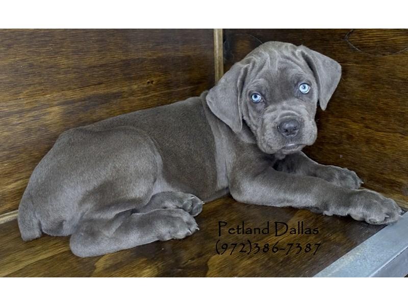 Cane Corso-Male-Blue-2848357-Petland Dallas, TX