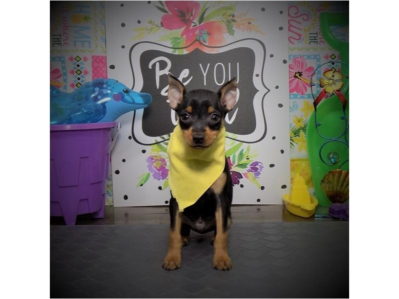 Miniature Pinscher-Male-Black / Rust-2816931-Petland Dallas, TX