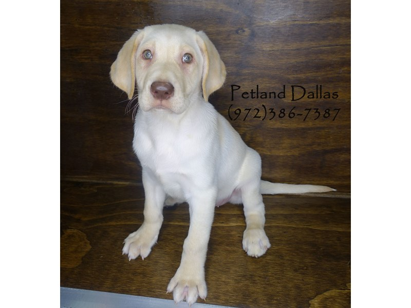 Labrador Retriever-Male-Yellow-2849275-Petland Dallas, TX