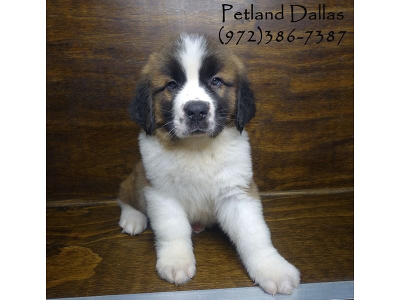 Saint Bernard-Male-Red and White-2848521-Petland Dallas, TX