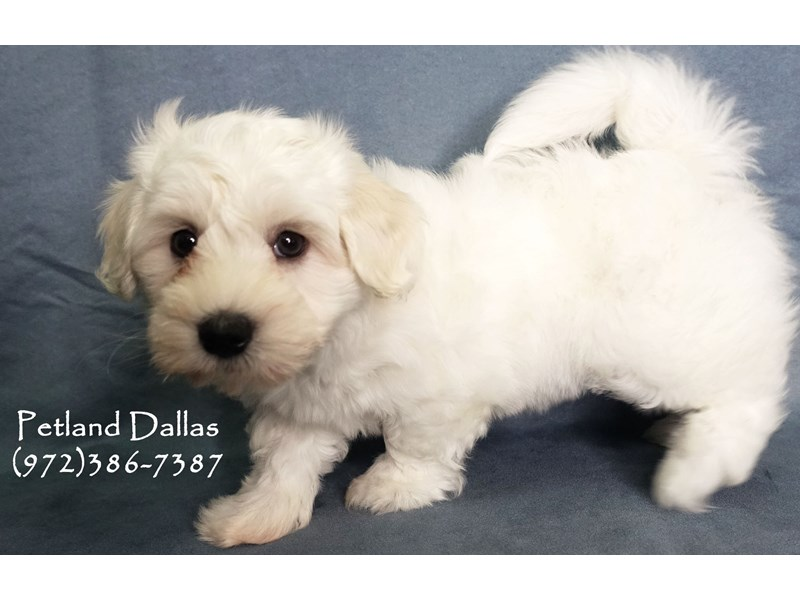 Coton De Tulear-Male-White-2856146-Petland Dallas, TX