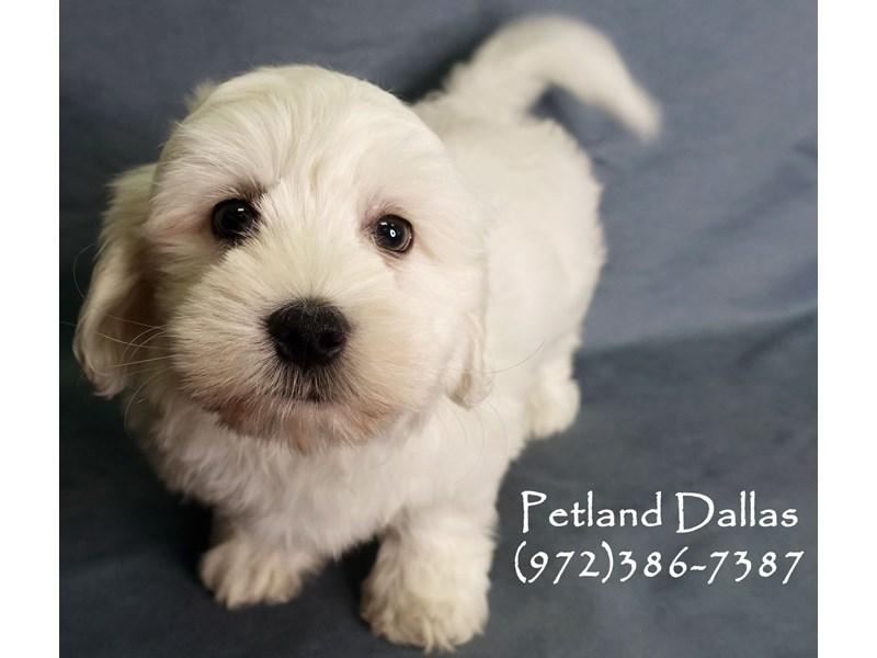 Coton De Tulear-Male-White-2856143-Petland Dallas, TX